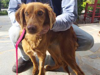 Maize - eine ehemalige Kettenhündin sucht ein liebevolles Zuhause bei erfahrenen Hundehaltern.