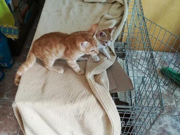 Kougar und Shirkan
